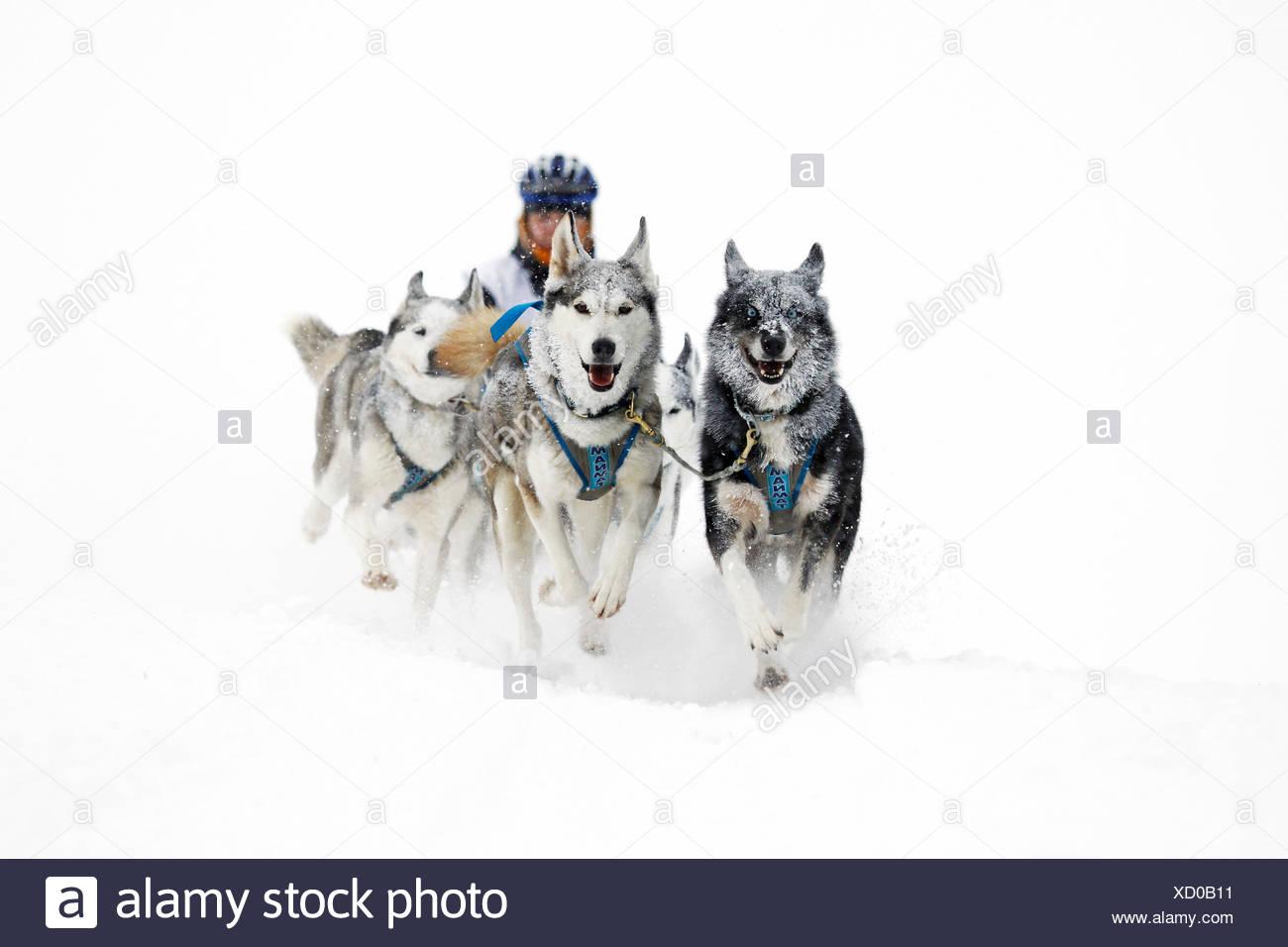 Alpine Trail Sled Dog Race 2013, Huskies, Prato Piazza alpine meadow, Fanes-Sennes-Prags Nature Park, Prags, Dolomites Stock Photo