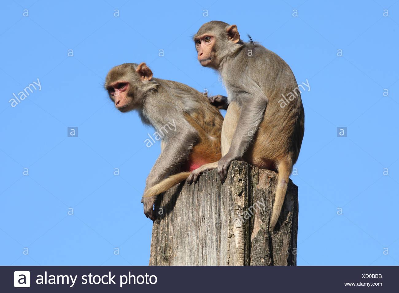 two Rhesus Macaques / Macaca mulatta - Stock Image