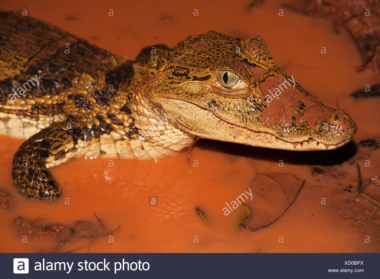Foto van een brilkaaiman in een poel met rood modderig water; photo of a spectacled caiman in a pool with muddy red water; - Stock Image