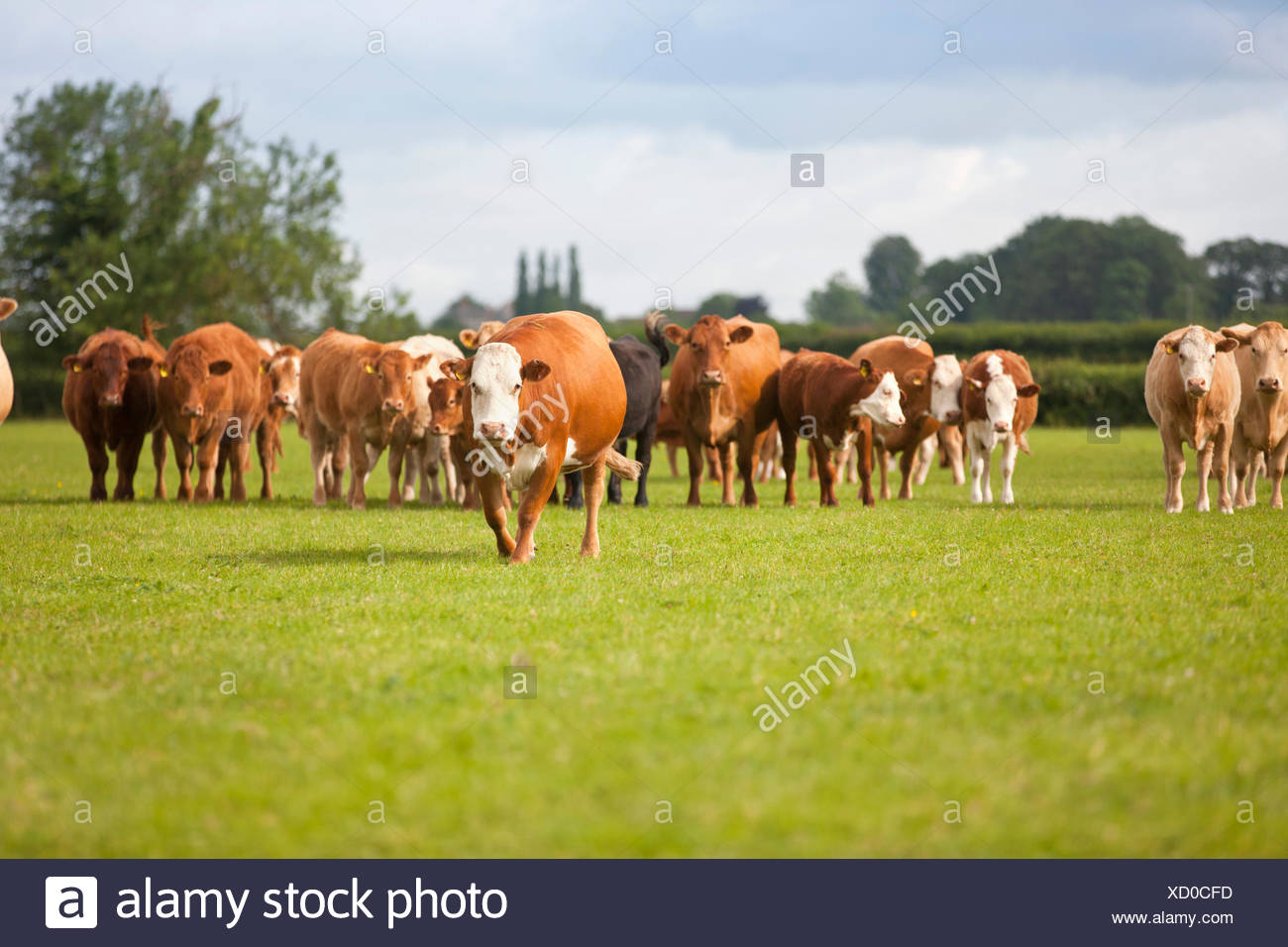 Portrait of herd of cows in sunny rural field - Stock Image