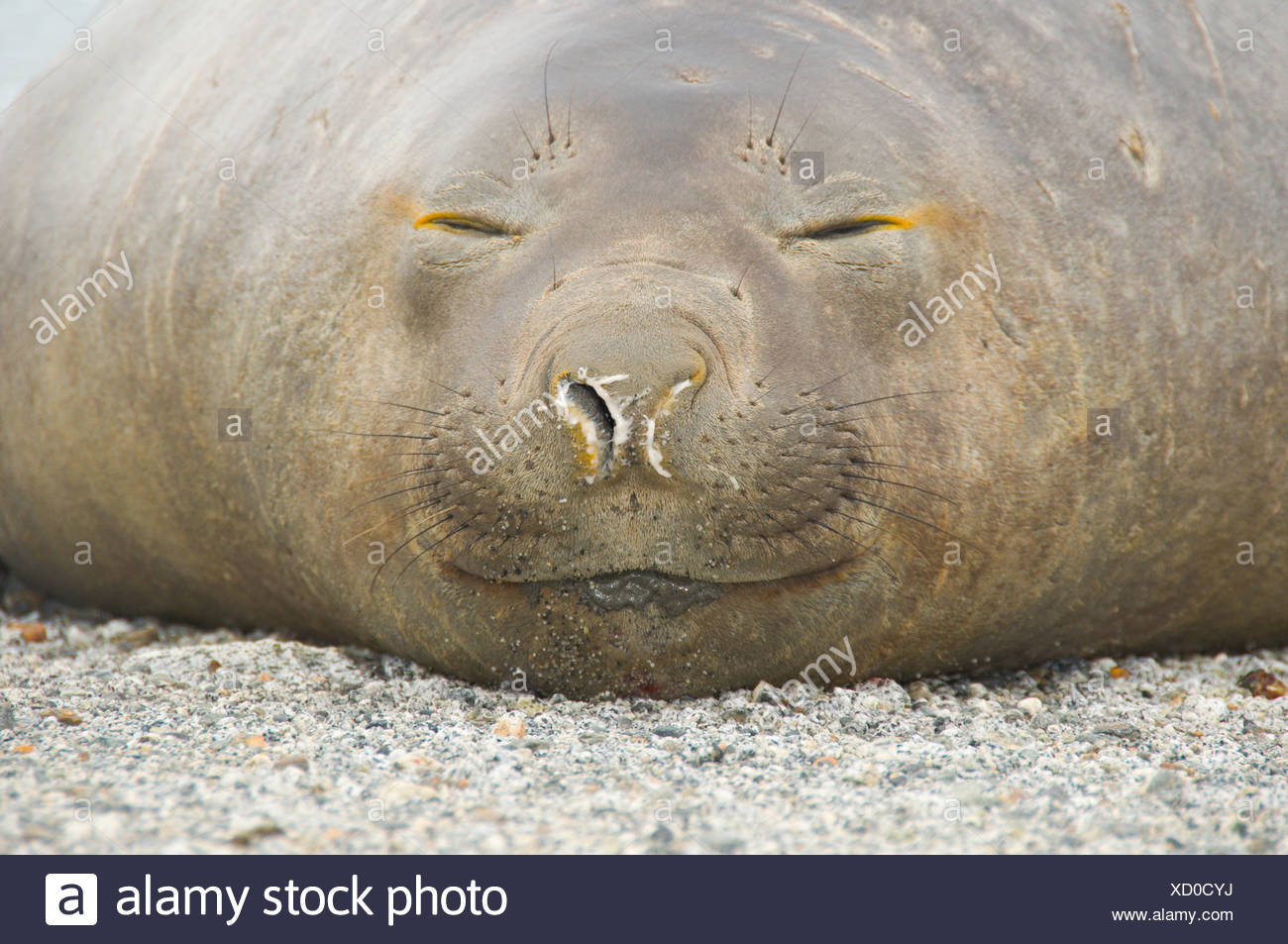 A female Southern Elephant Seal, Mirounga leonina, lounges on a beach in the Darwin Range, Patagonia, Chile - Stock Image