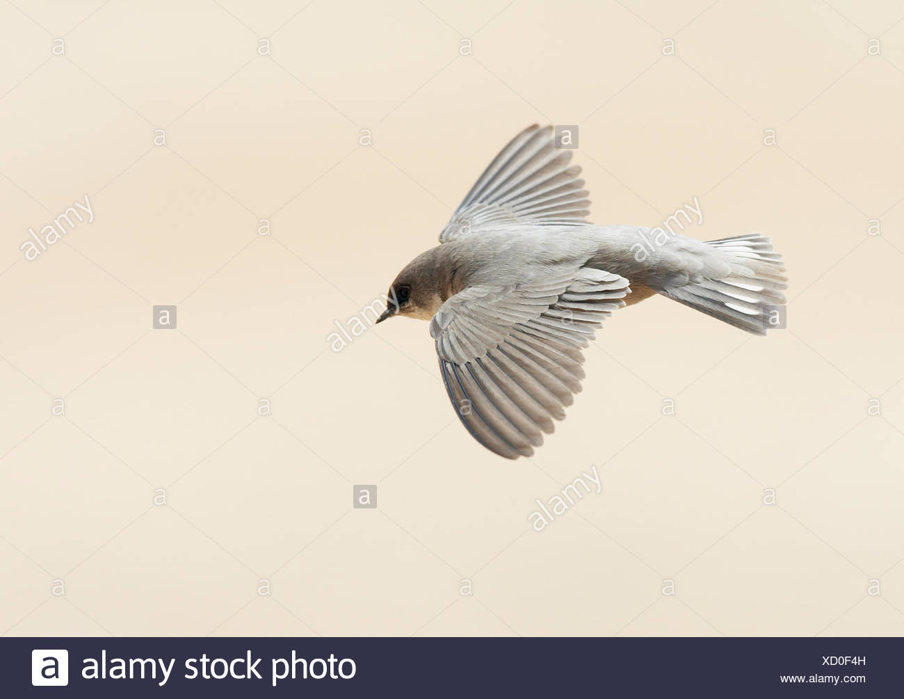 Rock Martin (ptyonoprogne fuligula)in flight, Israel - Stock Image