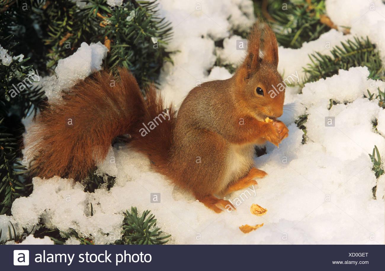 Europen red squirrel in snow - munching / Sciurus vulgaris - Stock Image