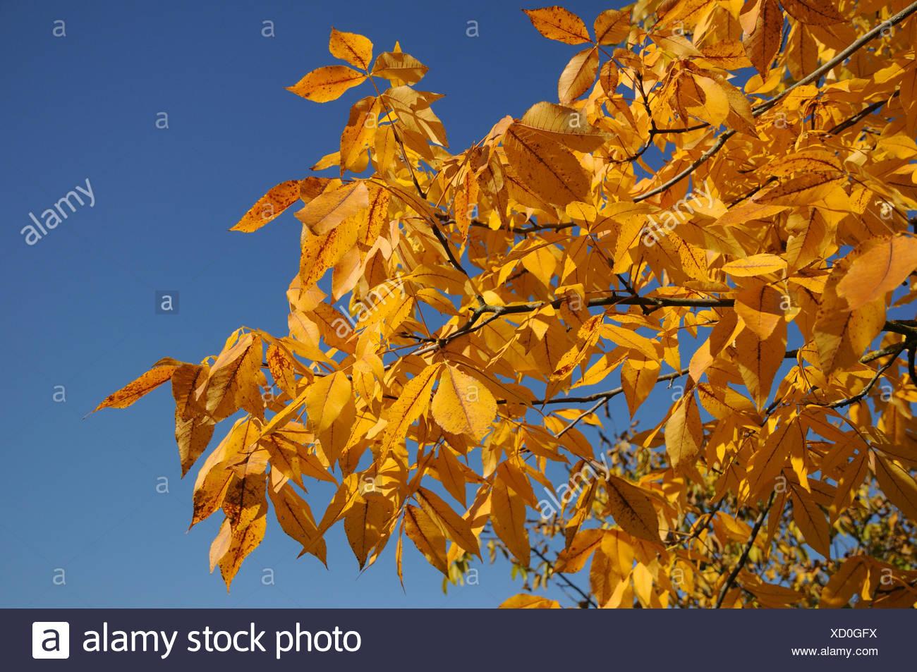 Shagbark hickory - Stock Image