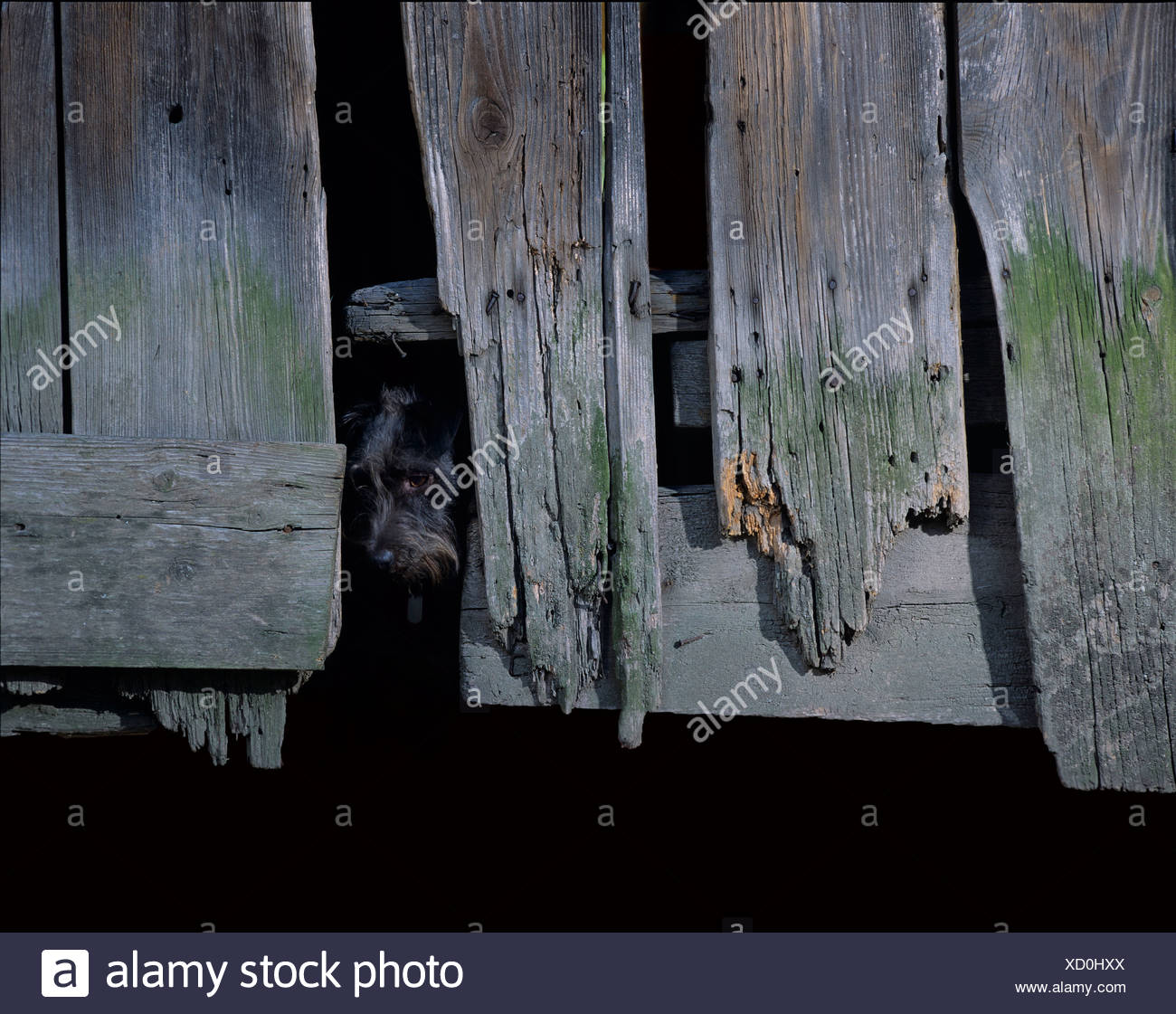 Mutt looking out from behind the door of an old barn Stock Photo