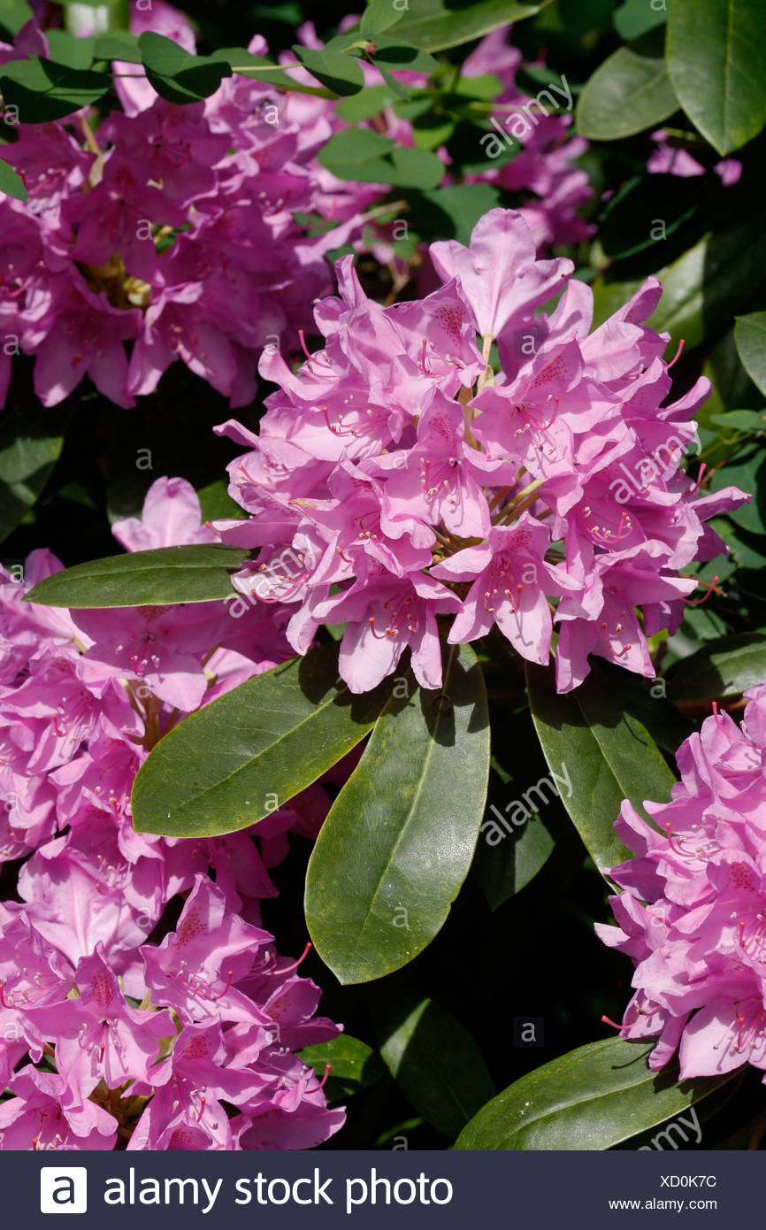 Catawba rhododendron, Catawba rose bay (Rhododendron catawbiense), blooming - Stock Image
