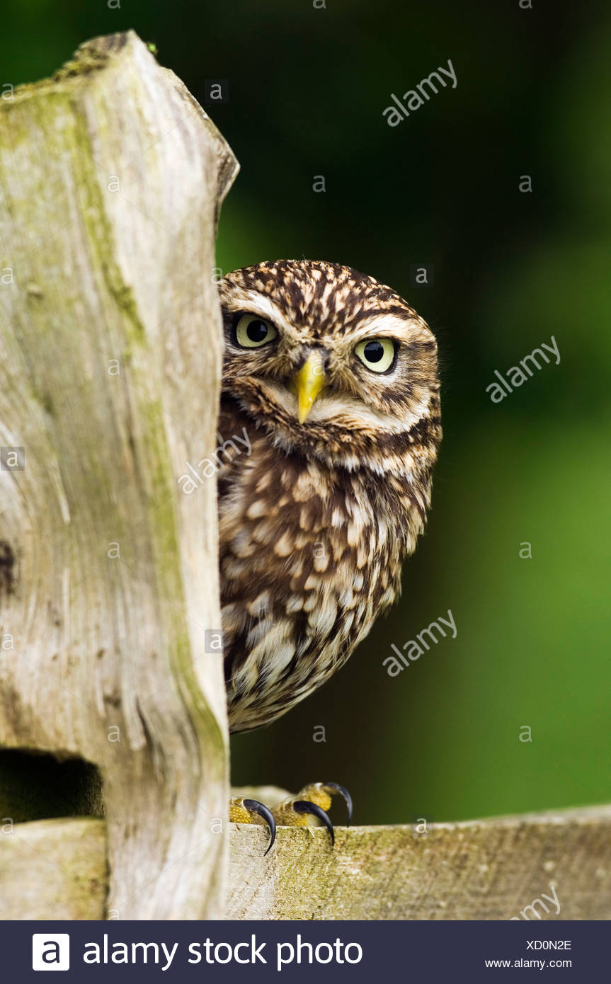 Little Owl on fence post in armland, Surrey, England. (Controlled Conditions). - Stock Image