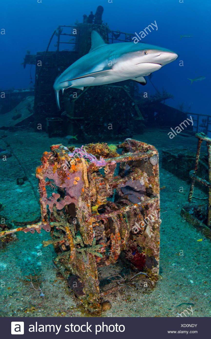 Female Caribbean reef shark (Carcharhinus perezi) cruises over Ray Of Hope wreck. Nassau, New Providence, Bahamas. Bahamas Sea, West Atlantic Ocean. Bahamas National Shark Sanctuary. - Stock Image