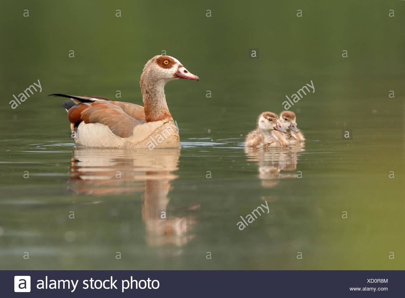 mother with fledglings - Stock Image