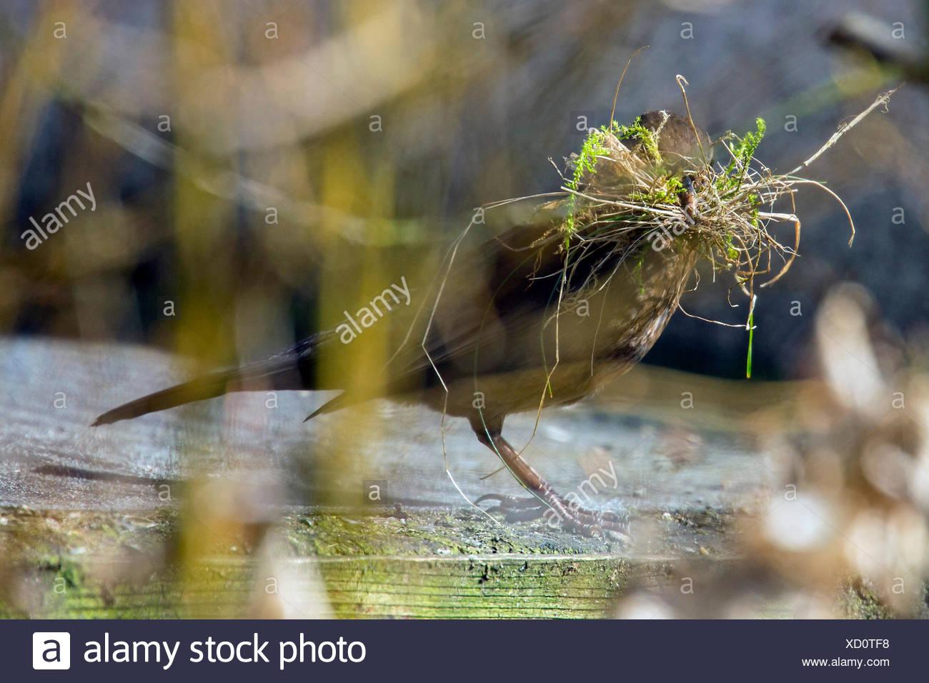 Amsel, Schwarzdrossel (Turdus merula), Weibchen sammelt Nistmaterial, Deutschland, Bayern, Niederbayern | blackbird (Turdus meru - Stock Image