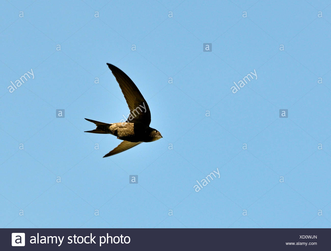 Common Swift Apus apus Norfolk summer - Stock Image