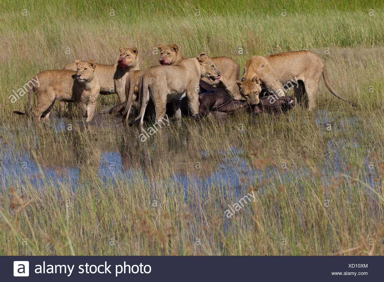 Female African lions feeding on a freshly killed Cape buffalo. Stock Photo