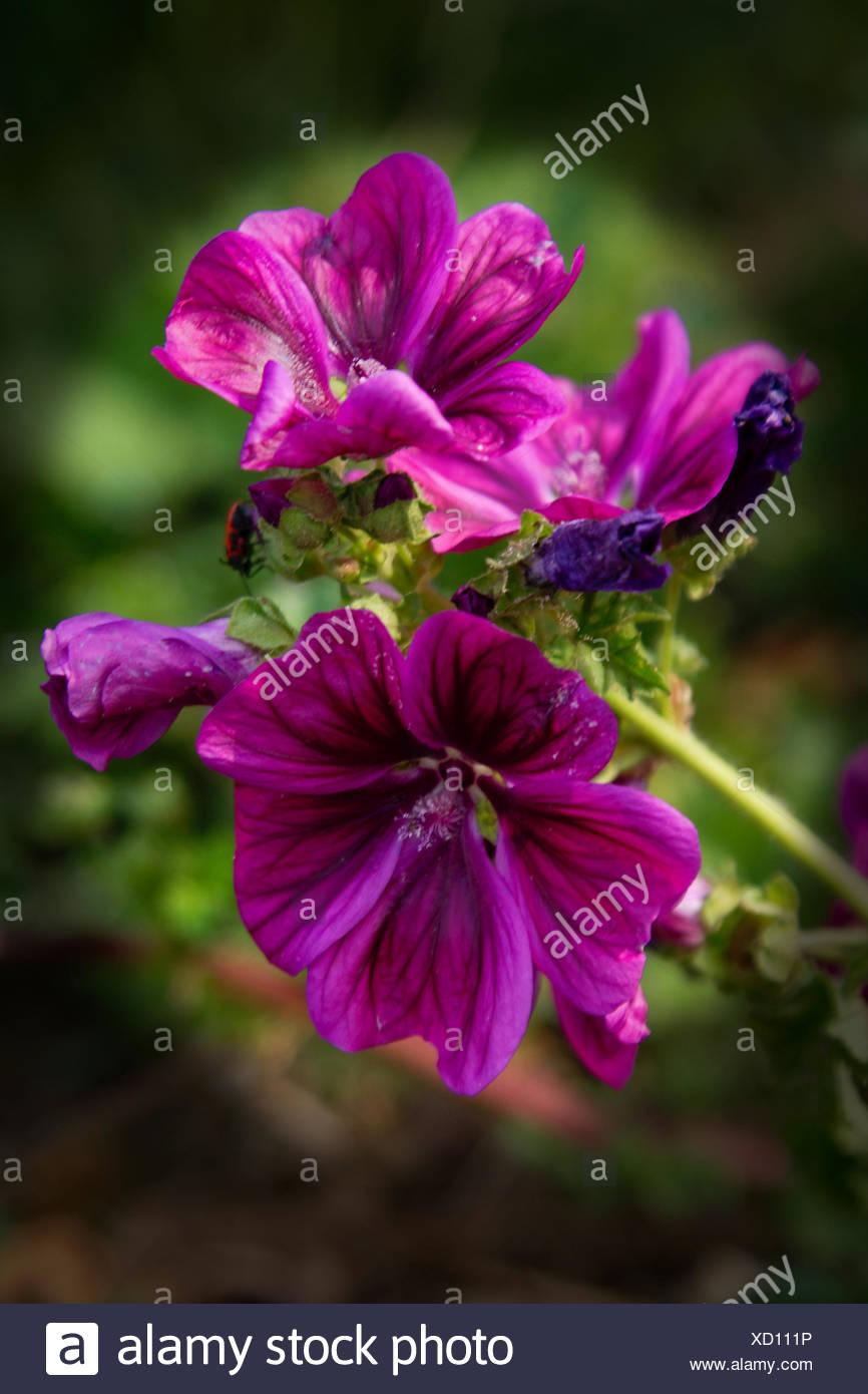 bloom blossom flourish flourishing wild useful plant purple violet mallow herb Stock Photo