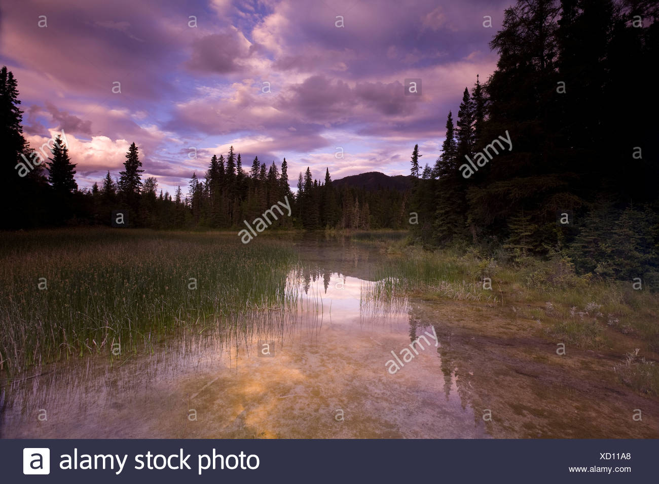 Warm water swamp and boreal forest near the hot springs, Liard River Hot Springs Provincial Park, British Columbia, Canada - Stock Image