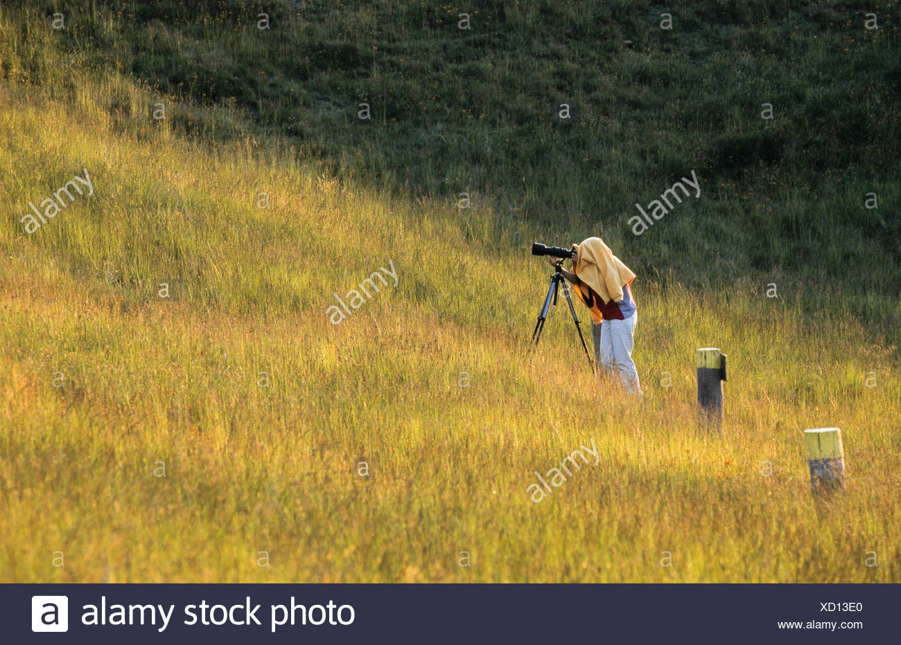 Photographer with tripod aiming telephoto lens, head and camera covered to block out light - Stock Image