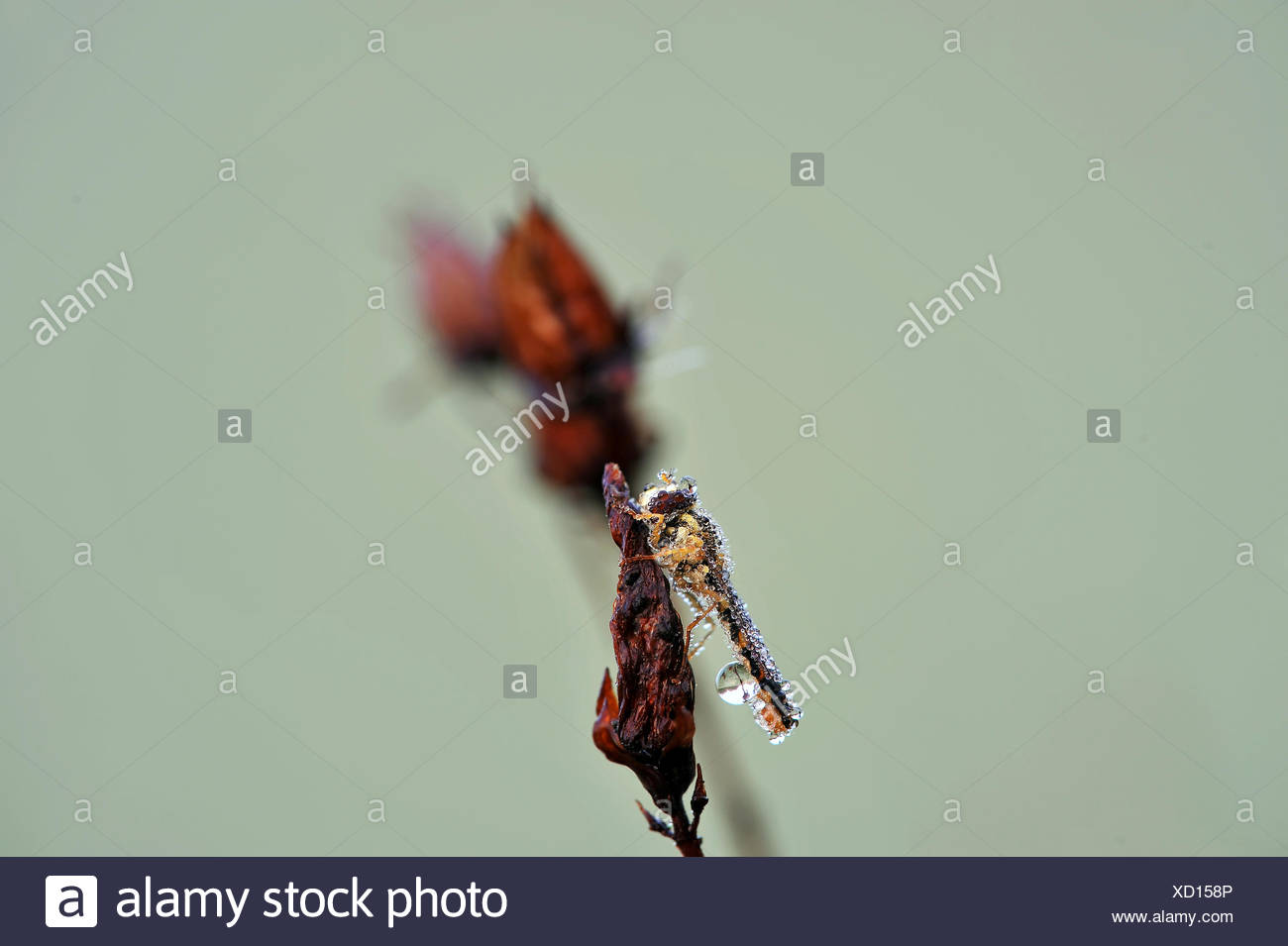 marmalade fly with watertrops - Stock Image