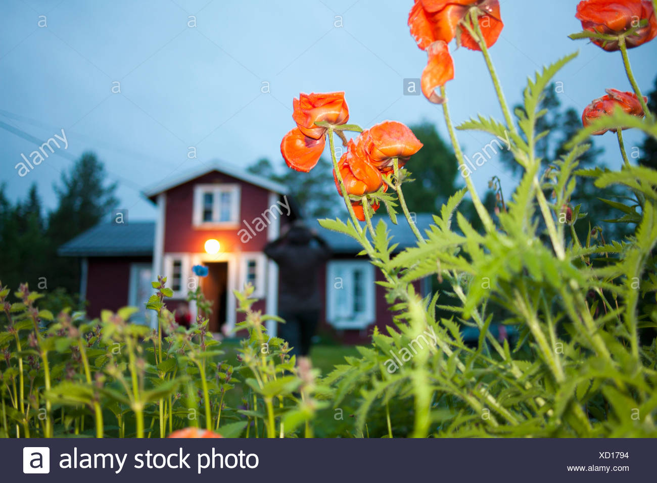 Poppies growing outside house - Stock Image