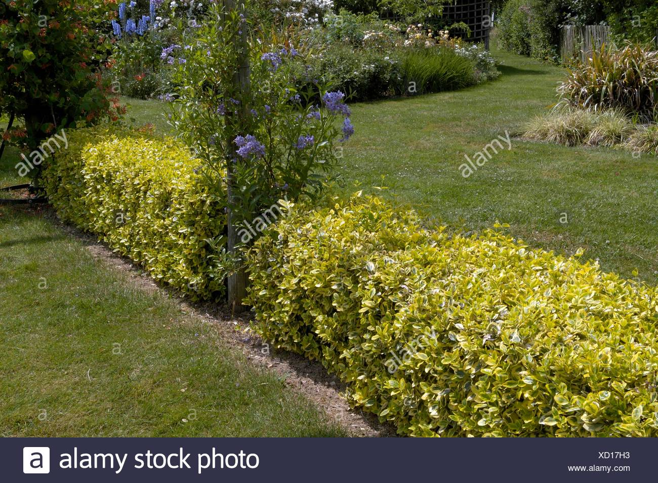 Hedge - of Euonymus fortunei 'Emerald 'n' Gold'   MIW250119 - Stock Image