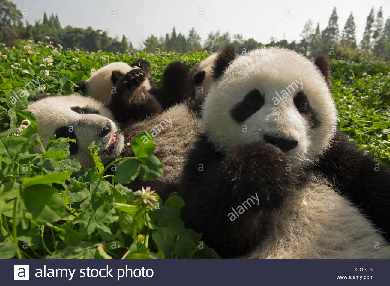 Six-month old giant pandas play at the Djianyan Panda Base. - Stock Image