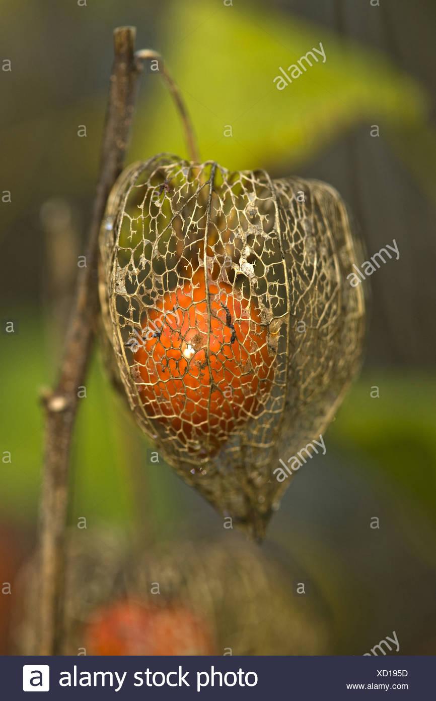 bladder cherry, physalis alkekengi - Stock Image