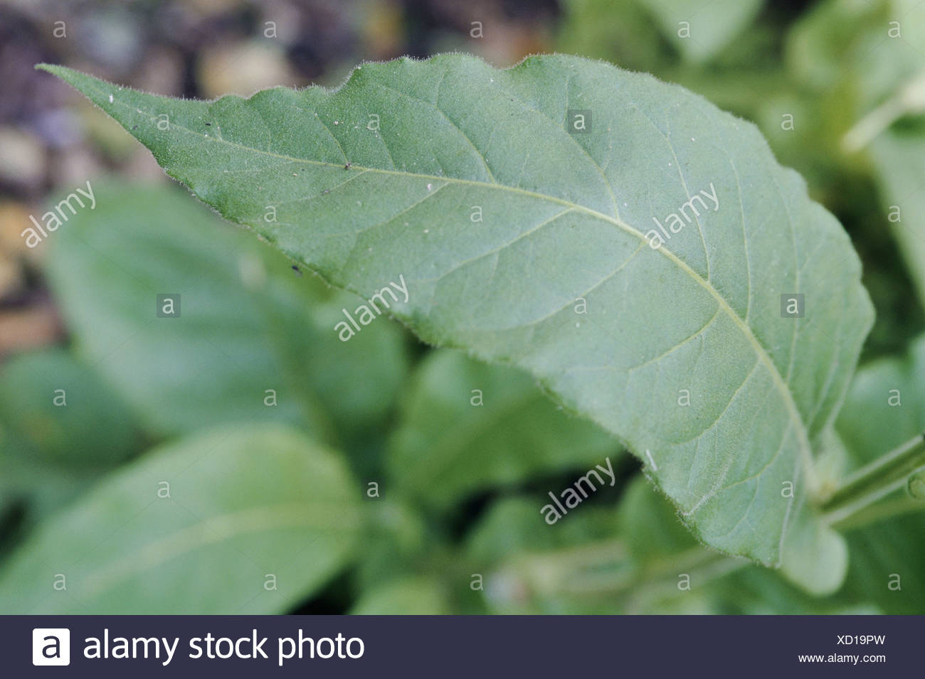 botany, Tobacco, (Nicotiana), Nicotiana tabacum, (Nicotiana tabacum), leaves, , Additional-Rights-Clearance-Info-Not-Available - Stock Image