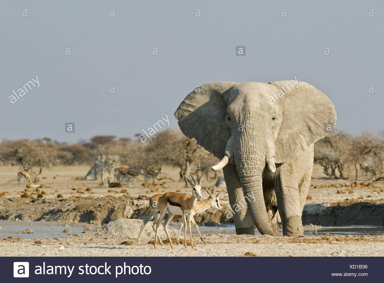 African Elephant (Loxodonta africana) and springboks (Antidorcas marsupialis), Nxai Pan, Makgadikgadi Pans National Park, Botsw Stock Photo