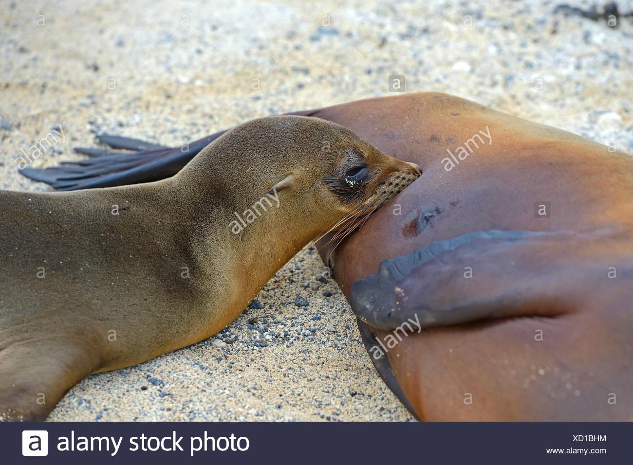 Galapagos-Seeloewe, Galapagosseeloewe (Zalophus californianus wollebaeki, Zalophus wollebaeki), Junges saeugt bei Mutter, Portra - Stock Image