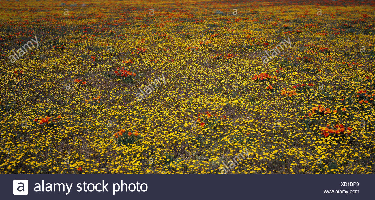 The USA, California, Mojavewüste, flower meadow, North America, Lancaster, deserted, nature, vegetation, meadow, flowers, blossom, yellow, poppies, period of bloom, plants, spectacle of nature, flowerage, rest, Idyll, freedom, harmony, - Stock Image
