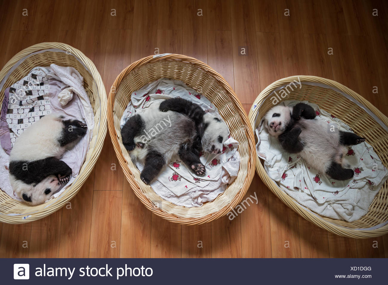 Three month-old cubs nap in the panda nursery at Bifengxia's Giant Panda Breeding and Research Center - Stock Image