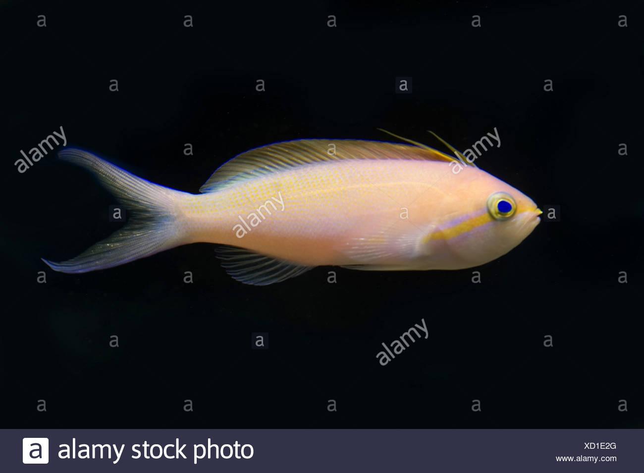threadfin anthias, nemanthias carberryi - Stock Image