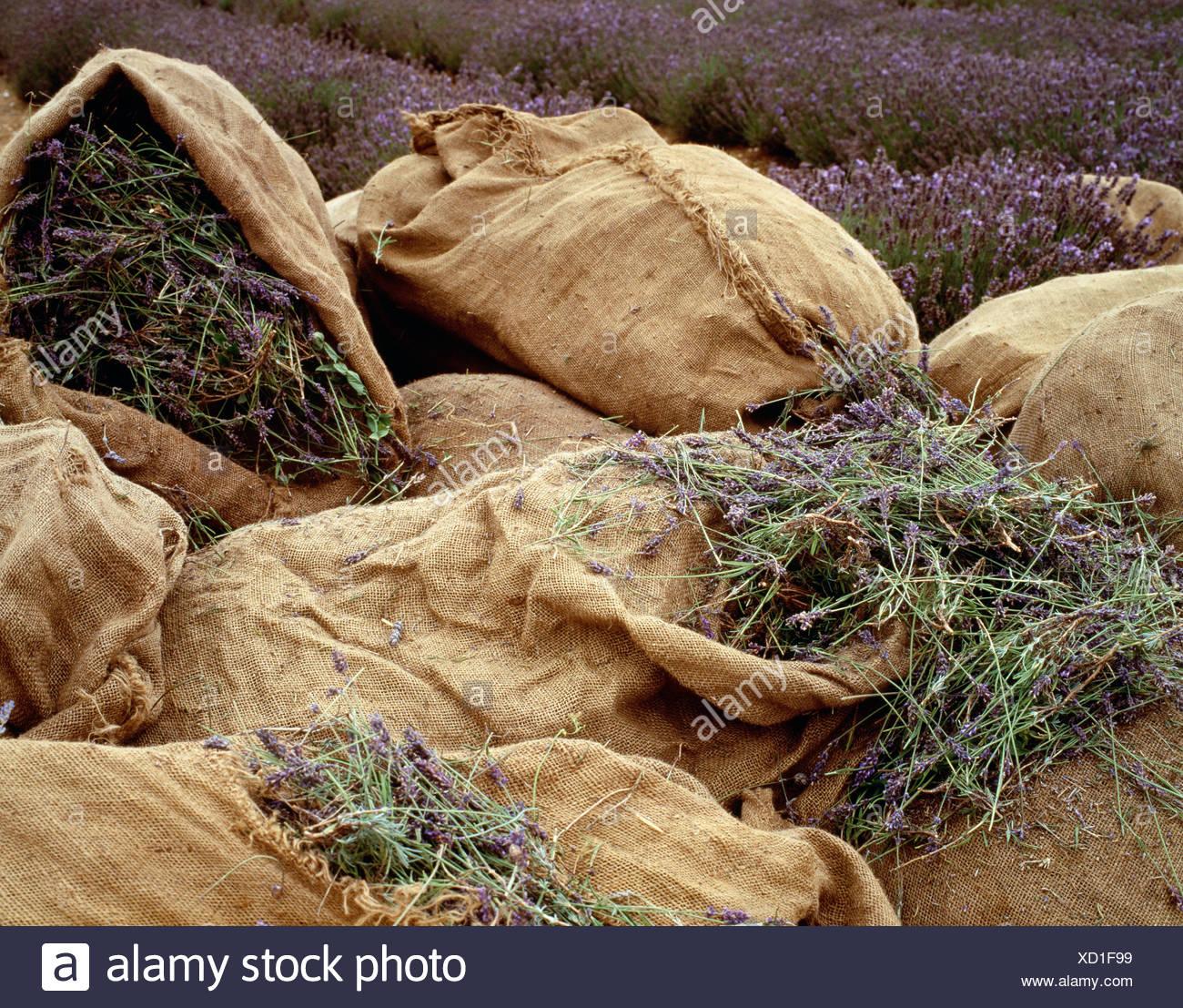 Norfolk LavenderLavender in canvas sacks in field - Stock Image