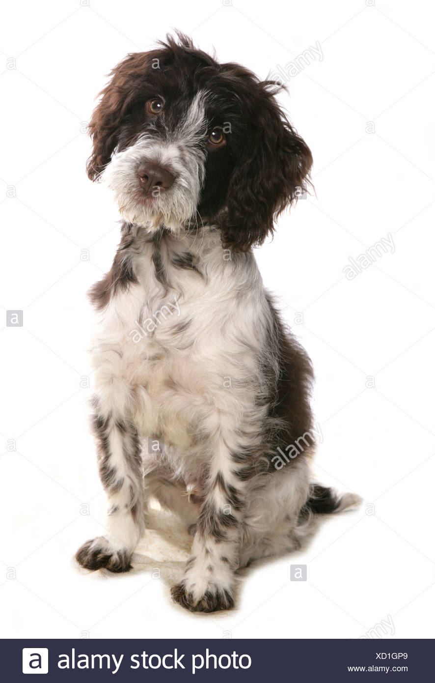 Domestic Dog, Cockerpoo (Cocker Spaniel x Poodle), puppy, sitting - Stock Image