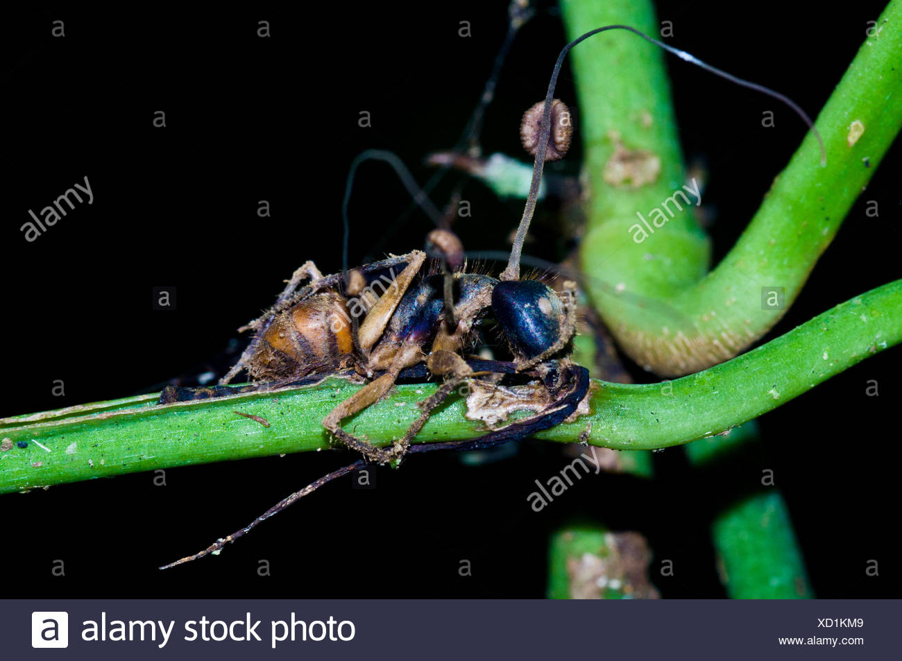 The fruiting bodies and spores of a fungi emerging from the body of a dead bee. - Stock Image