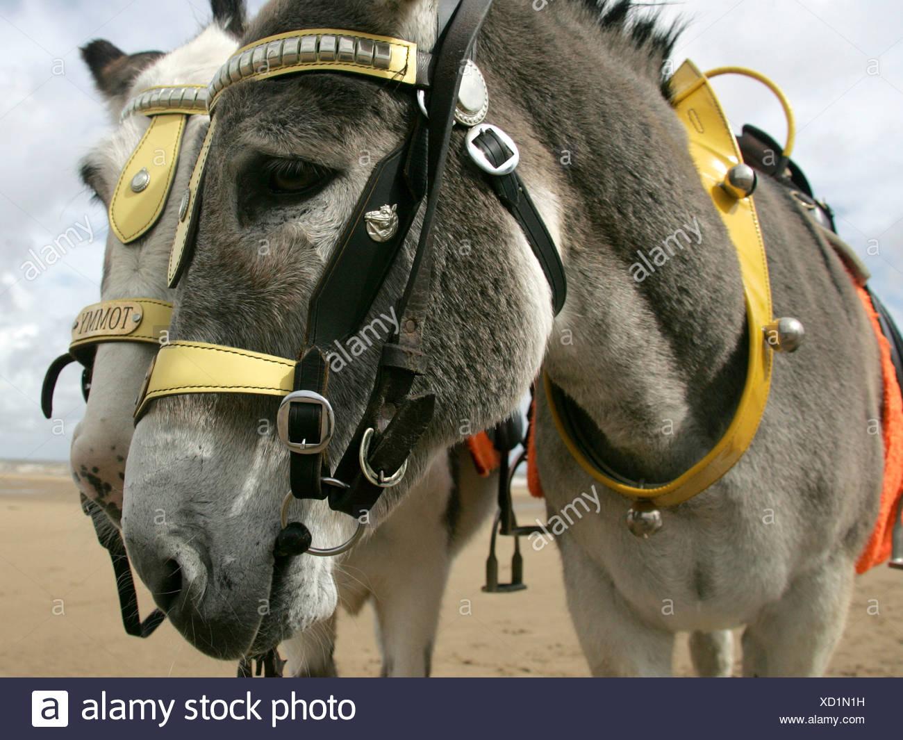 Donkeys on Skegness beach. Stock Photo