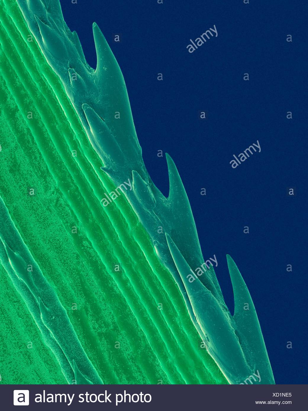 A blade of grass with serrated edge (Paspalum sp),coloured scanning electron micrograph (SEM).Plants evolve specialized physical chemical characteristics in natural defence against stresses in their environments.The sharp saw-toothed edge of blade of grass protects against herbivores.Paspalum is - Stock Image