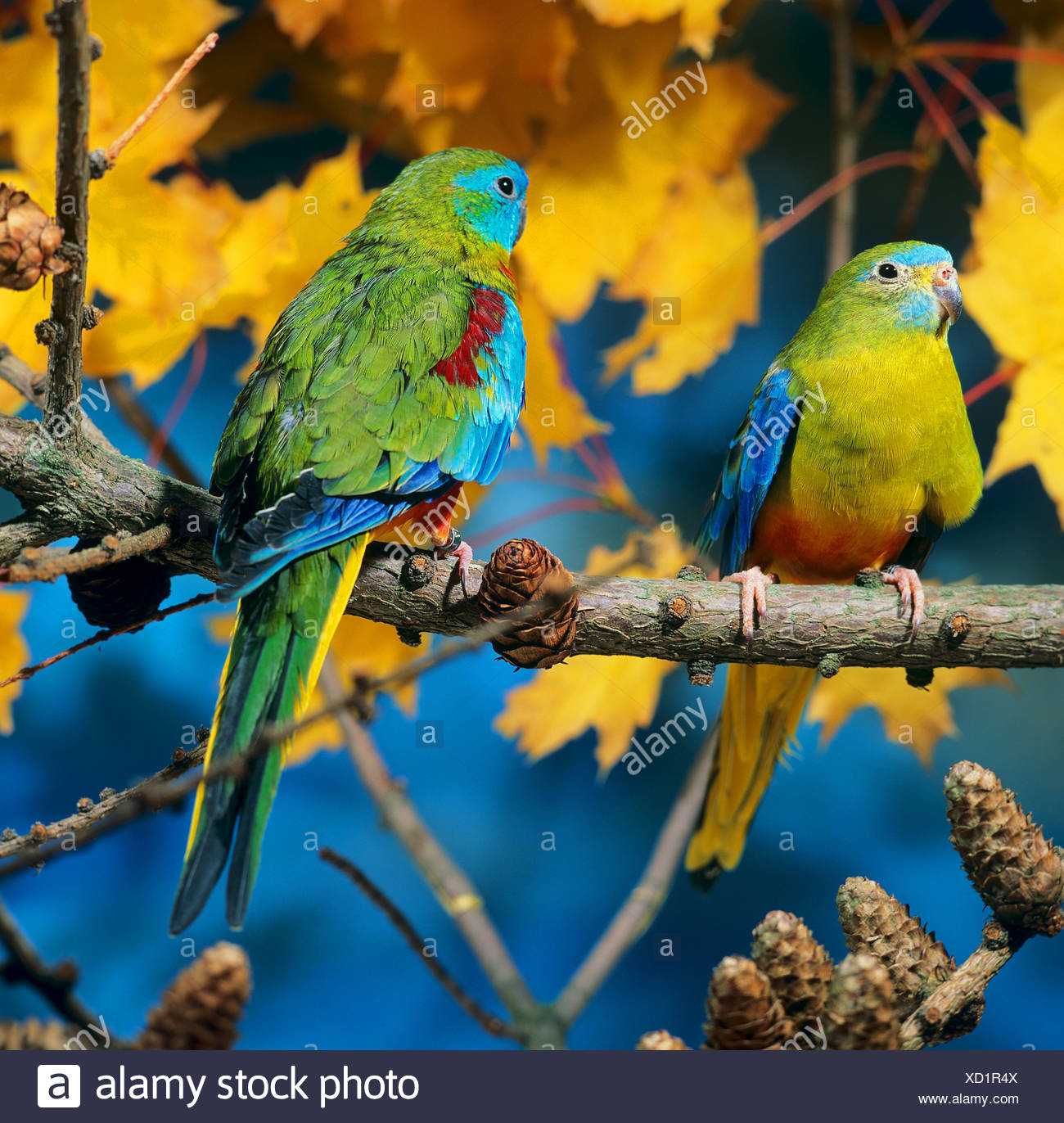 Parrot Couple On Branch