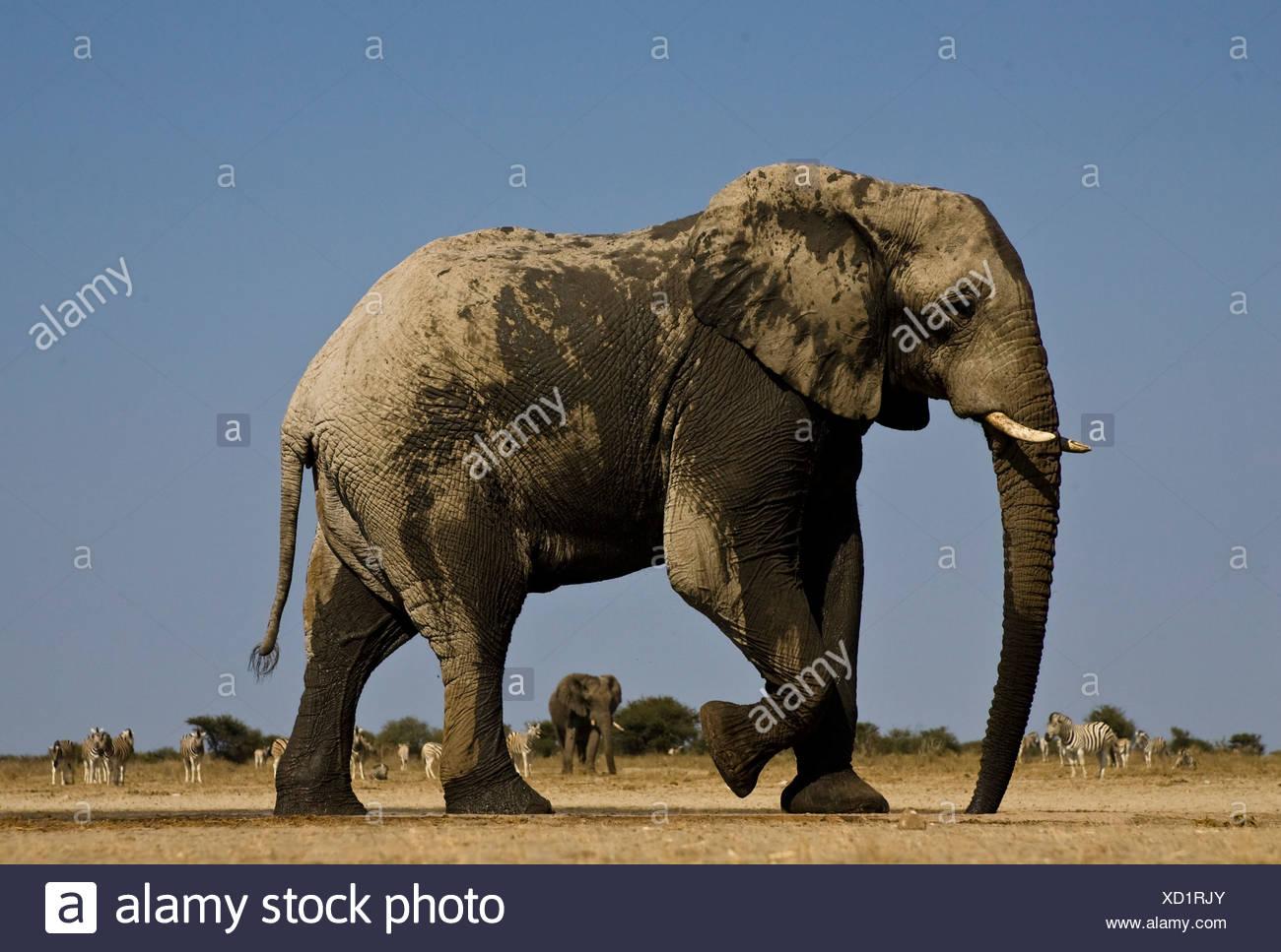 Elephant at Waterhole, Etosha National Park, Namibia - Stock Image