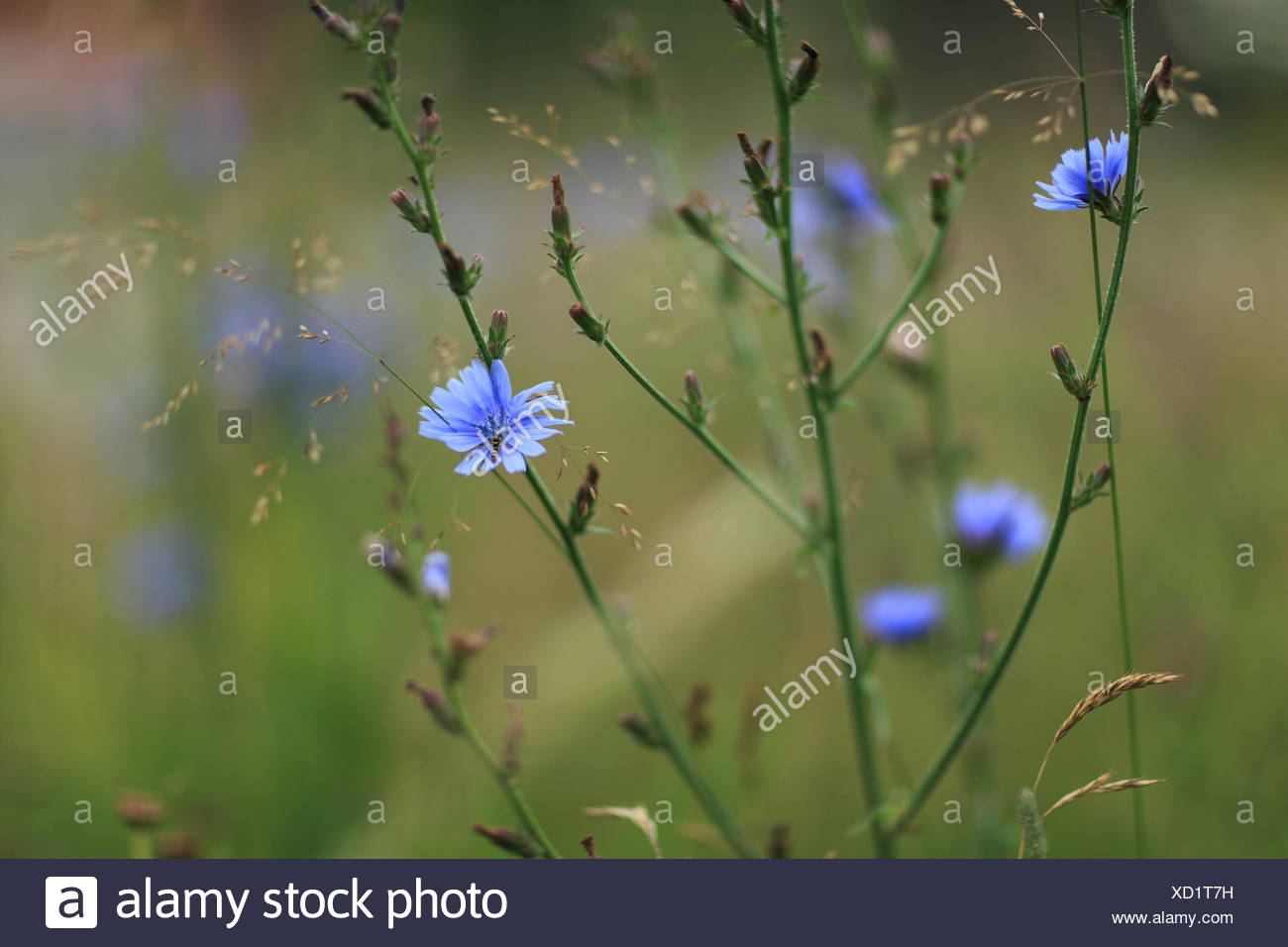 Blue Wild Flowers On A Field - Stock Image