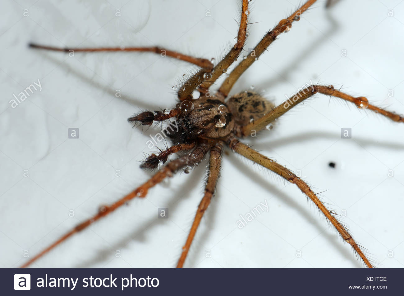 House spider (Tegenaria gigantea) in a kitchen sink and slightly wet - Stock Image