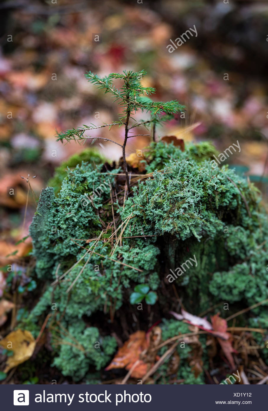Fragile conifer seedling growing from the decayed trunk of a tree, New Hampshire, USA - Stock Image