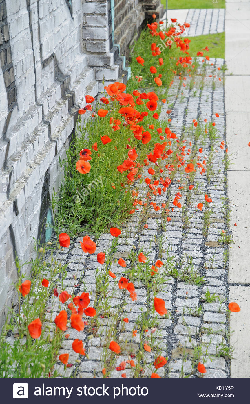 Poppies, industrial site, Germany - Stock Image