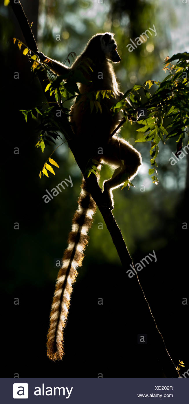 Ring-tailed Lemur (Lemur catta) sun basking at dawn. Berenty Private Reserve, southern Madagascar. Stock Photo