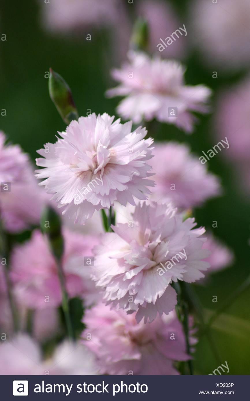 carnation bloom blossom flourish flourishing pinks pink garden flower plant - Stock Image
