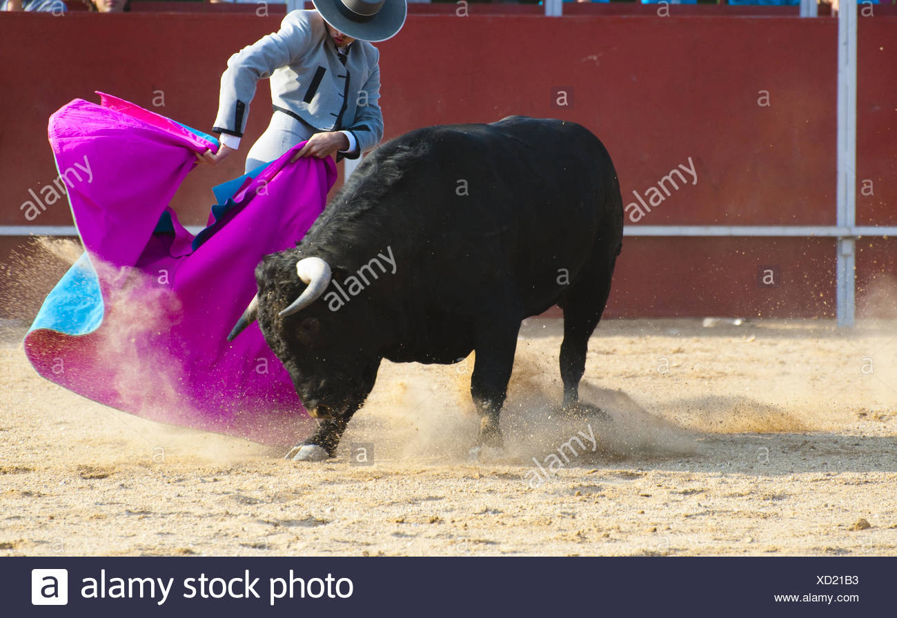 Fighting bull picture from Spain. Black bull - Stock Image