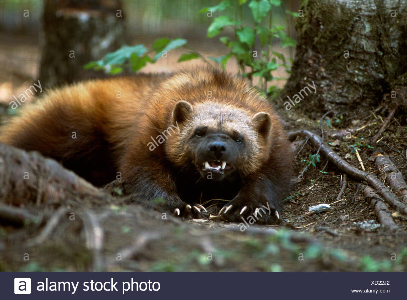 portrait-of-wolverine-captive-summer-can