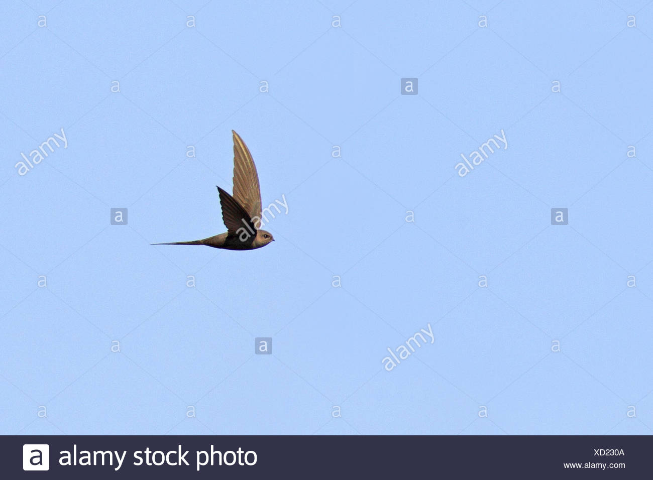 African palm swift (Cypsiurus parvus), flying bird, South Africa, Pilanesberg National Park - Stock Image