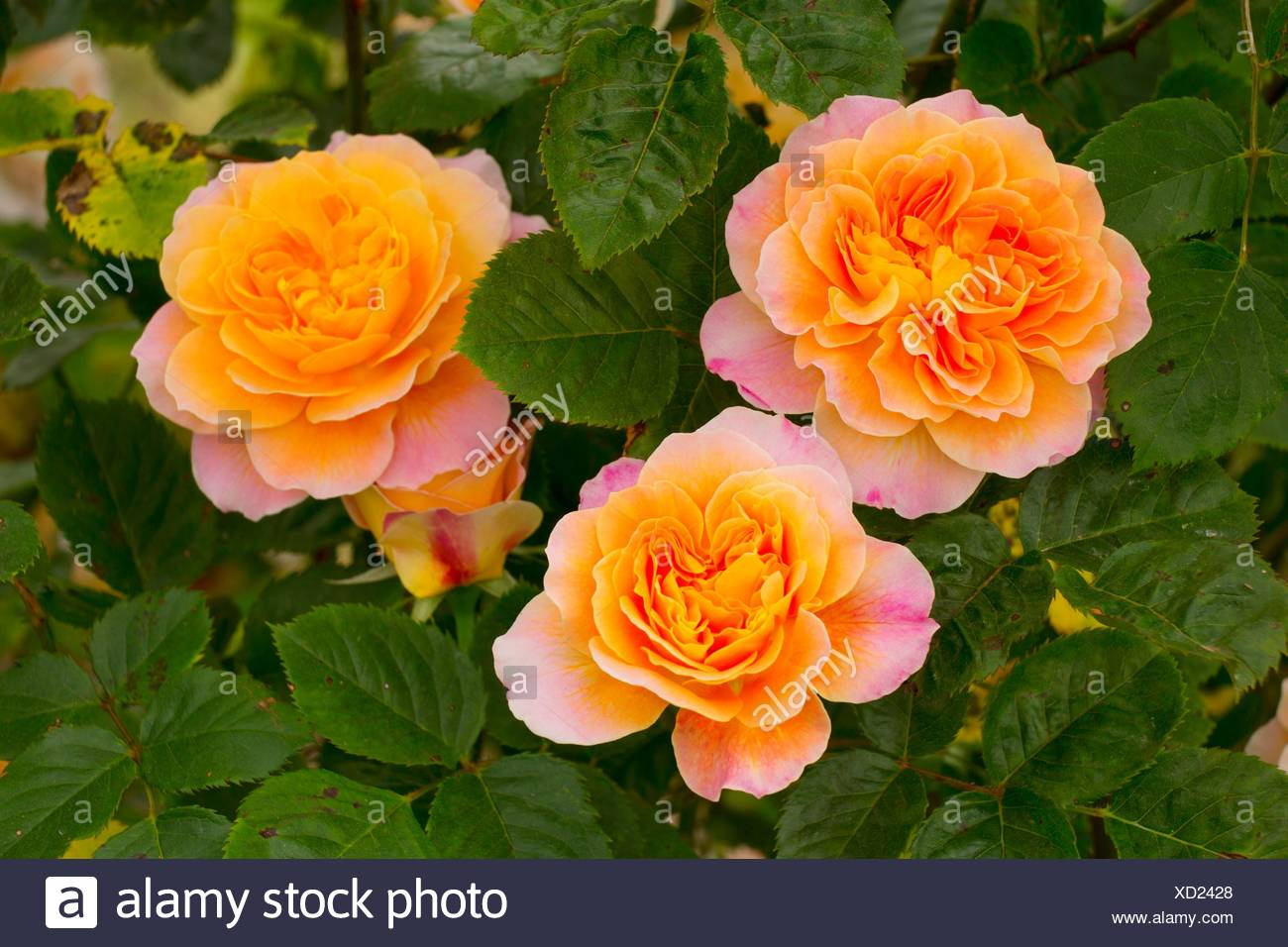 The Impressionist rose, Heirloom Roses, St Paul, Oregon. - Stock Image