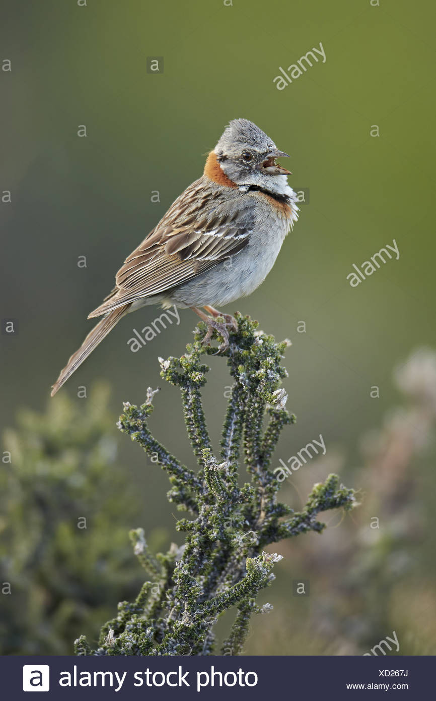 Rufous-collared Sparrow (Zonotrichia capensis) adult singing perched on bush Torres del Paine N.P. Southern Patagonia Chile Stock Photo