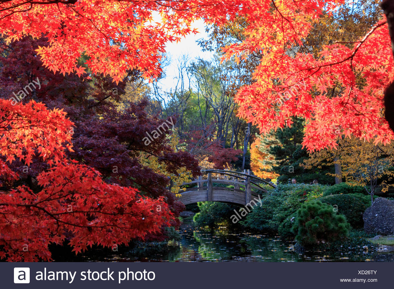 autumn, fall color, Japanese Garden, maple, leaves, red, Texas, TX, United States, USA, America, yellow Stock Photo