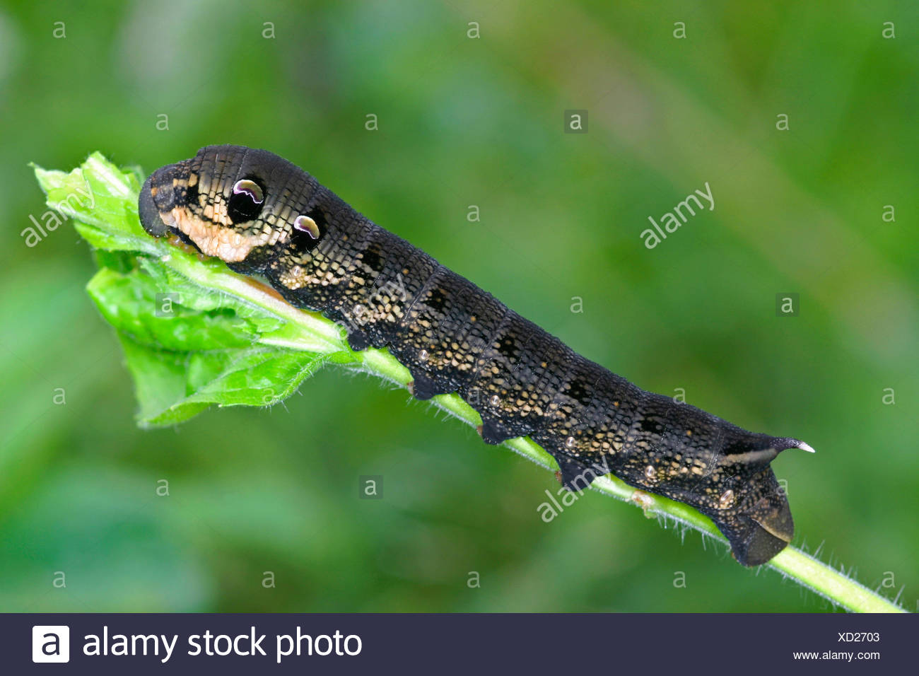 elephant hawkmoth (Deilephila elpenor), caterpillar on a twig, Germany Stock Photo